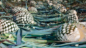 Agave Harvested